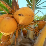 Young coconuts of wakefulness, Isla Mujeres, Mexico