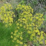 Fennel - Simple and Fresh