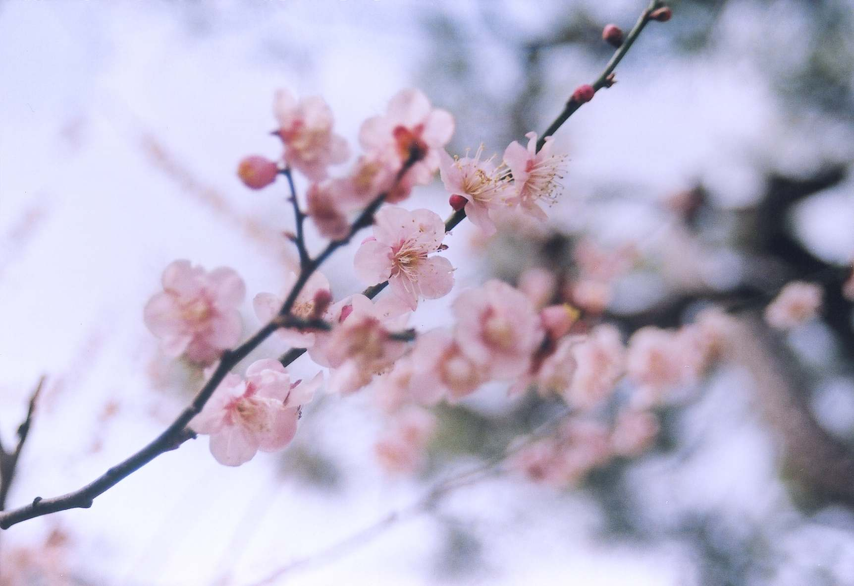 What does Cherry Blossom Tree look like  qaanswerscom
