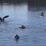 Dathun Ducks