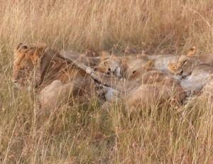 Snoozing pride of lions, in Masai Mara Kenya, photo by Kathy Diamond