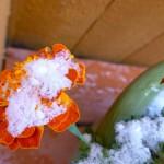 Snowy Marigold by Margo Shean, Boulder, Colorado