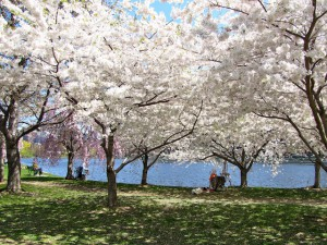 cherry trees along the Charles River, photo by Terry Rudderham