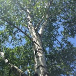 The Birch Tree as Basic Goodness