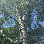 The Birch Tree as Basic Goodness