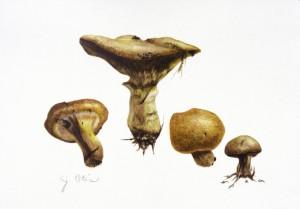 Douglas Fir Mushrooms, botanical watercolor by Jane Ferguson