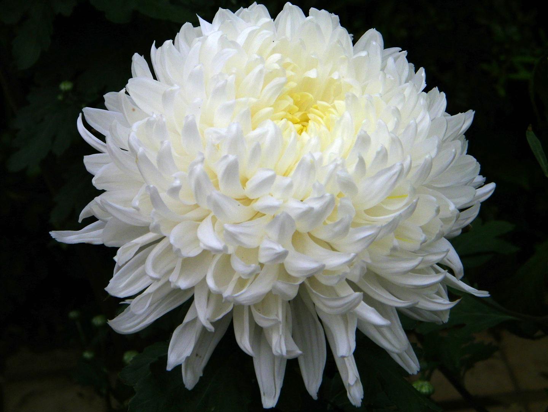 Хризантема садовая многолетняя кустовая (Chrysanthemum ...
