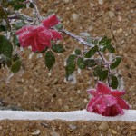 Leaning Rose by Julie DuBose, Fort Worth, Texas