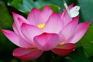 pink lotus with white butterfly