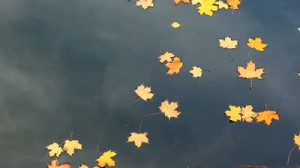 stock-footage-yellow-maple-leaves-drifting-in-the-river-during-autumn