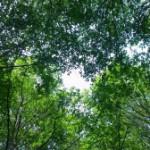 Pre-Miksang trees