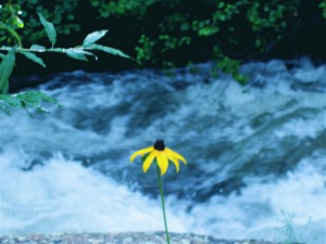 photo by Jennifer Woodhull - the yellow flower stands in front of the same Jim Creek that washed Jamestown, CO off the mountain during the recent flood
