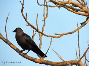 Crow Goa