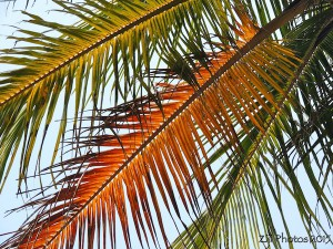 Palm Fronds Goa