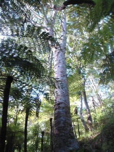Kauri tree, Kakamatua Beach