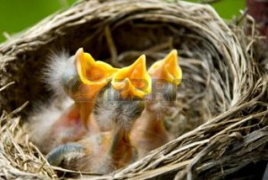 8825579-three-hungry-baby-robins-in-a-nest-wanting-the-mother-bird-to-come-and-feed-them-copy-space