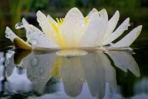 water-lily-635865__340