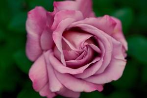 rose-782513__340