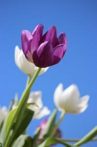 tulips-177889__340