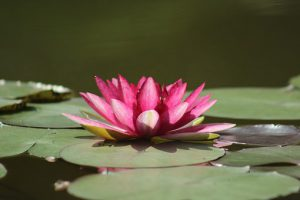 water-lilies-1025523__340