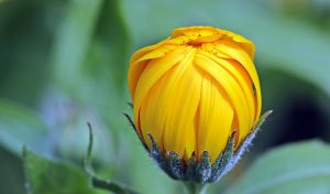 marigold-1503876__340