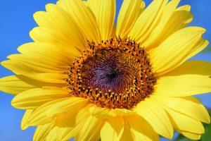 sun-flower-179010__340