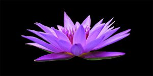 water-lily-1592771__340