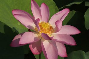 lotus-1553816__340