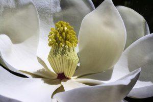 magnolia-1077384__340