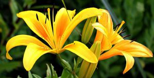 yellow-lily-300x152