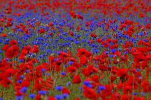 poppies-753894__340