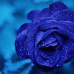 rose-165819__340
