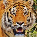 The Tiger Has Teeth