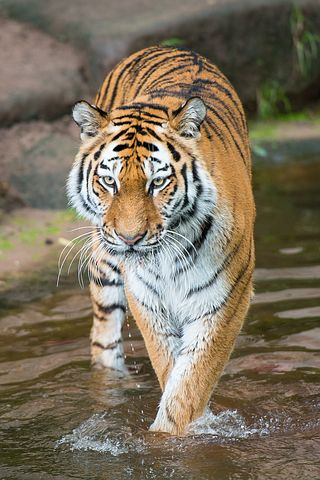 I Cannot Help But Wonder How Does The Tiger Walk This Path Of Uncertainty Pain Humiliation Outrage What Meek Do When Called