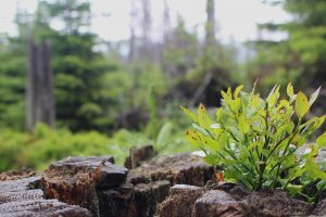 growing out of stump, buddhism and recovery